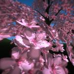 Cherry Blossom in VR